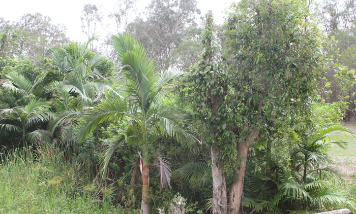 Alexandra palms invaded the riparian zone at the end of McConachie Court