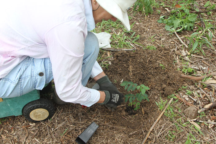 A Bushcare volunteer carefully positions a coffee bush where once Easter cassia plants were establishing along the embankment of a Dawn Road Reserve waterway.