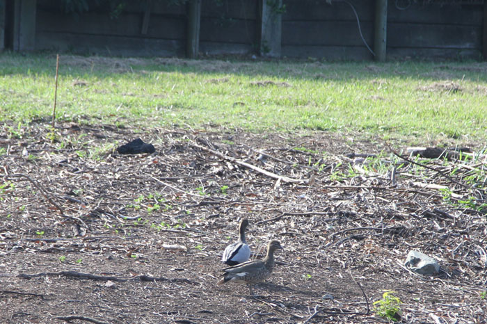 A pair of Australian wood ducks (Chenonetta jubata) forage on the recently cleared embankment in the Dawn Road Reserve, near the end of McConachie Court. The male is at the front, the female behind.