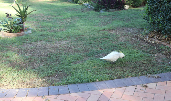 Billie the rescued young sulphur-crested cockatoo checks out potential menu items on the footpath outside his new Albany Creek home.