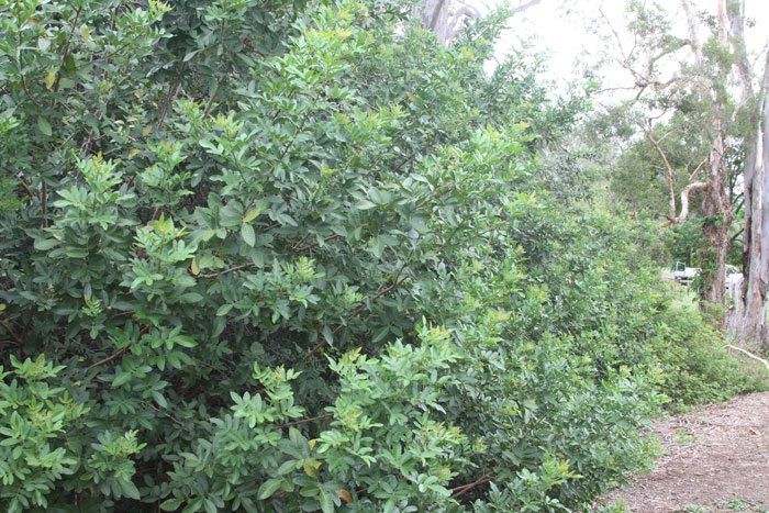 The foliage on a mature broad-leafed pepper tree can reach all the way to the ground