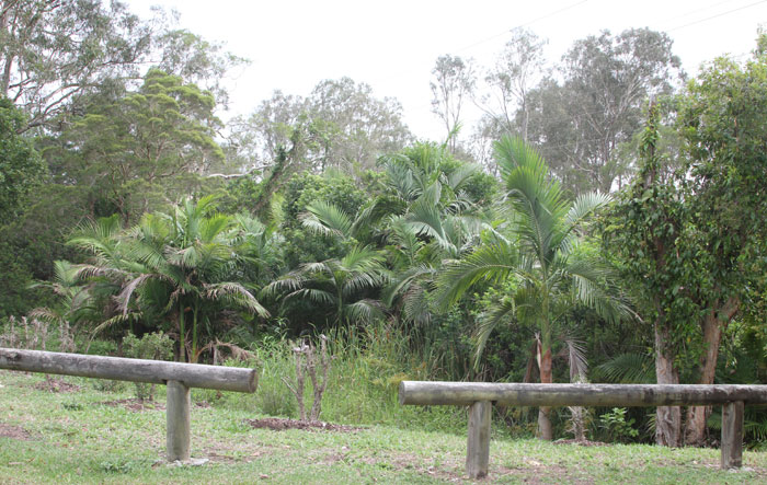The original stand of broad-leafed pepper trees and Alexander palms at the end of McConachie Court, both are pest species that spread into surrounding bushland.