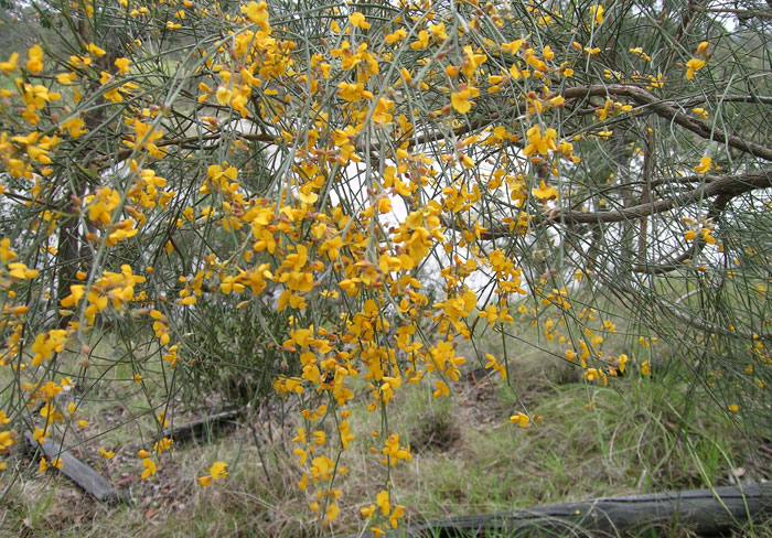 Keep your eyes out for this yellow-flowering shrub, Dogwood