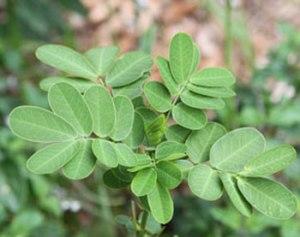 The opposite leaves on a juvenile Easter cassia (Senna pendula var. glabrata) plant