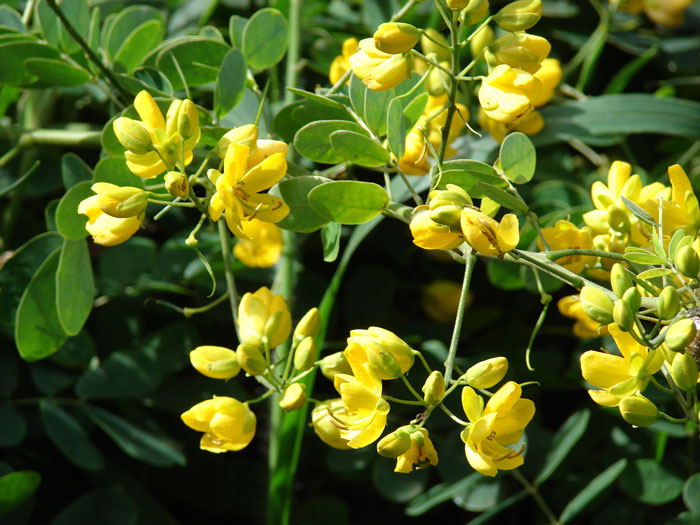 Easter cassia (Senna pendula var. glabrata) in flower with its prolific, bright yellow blooms