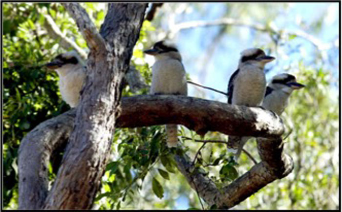 Kookaburras in the Dawn Road Reserve