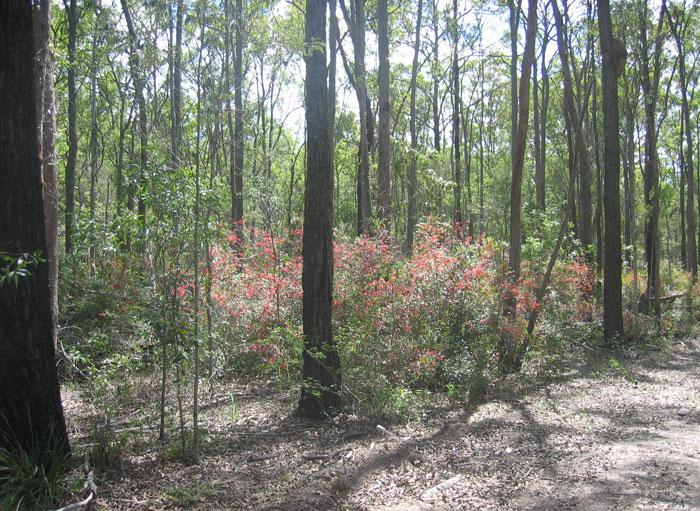 An escapee from local gardens, the Mickey Mouse Plant (Ochna serrulata) quickly becomes an invasive plant that takes over bushland.