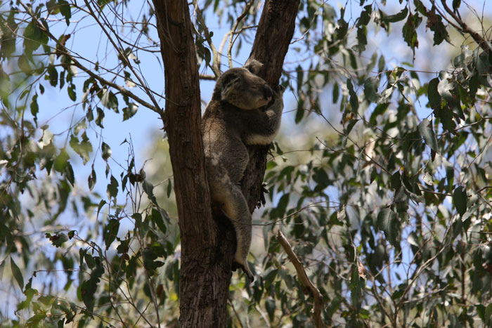 A koala catches a nap in the fork of a gum tree in the Dawn Road Reserve
