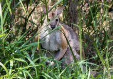 An eastern grey kangaroo on the edge of the Dawn Road Reserve. (Picture: Peter Bull)