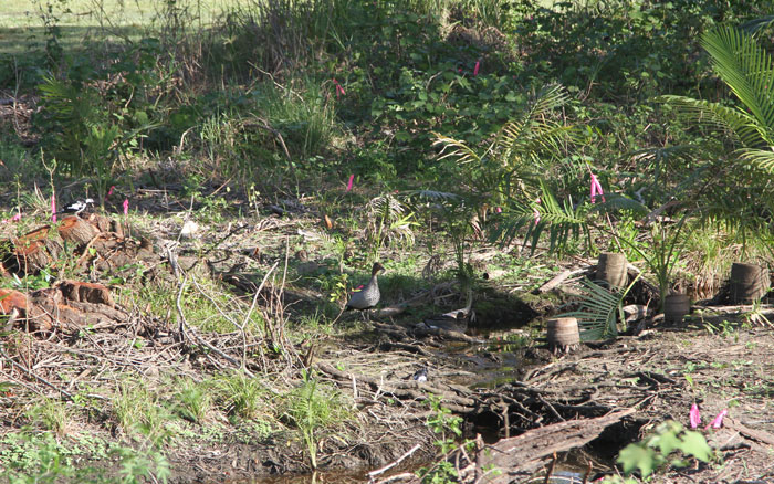 A black and white peewee sits watching two Australian wood ducks in the riparian zone around a stream in the Dawn Road Reserve.