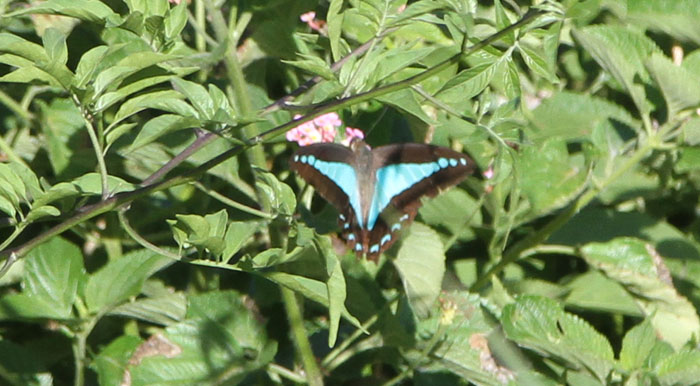 The striking blue triangle butterfly in the Dawn Road Reserve