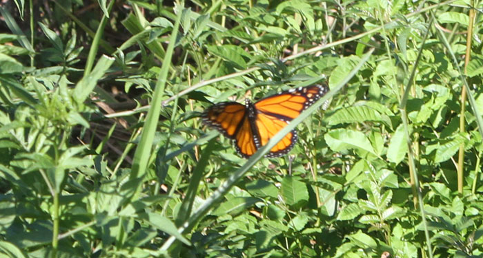 Monarch butterfly rests on Brazilian nightshade weeds in the Dawn Road Reserve