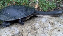 An eastern long-necked turtle heads for higher ground after torrential rains in the Dawn Road Reserve