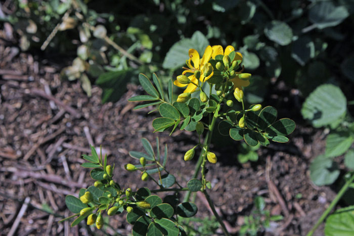 An Easter cassia plant up close – Moreton Bay Regional Council Bushcare Officer Nicole Byrne pointed out that you can see its yellow-edged leaves, one of its discerning features.