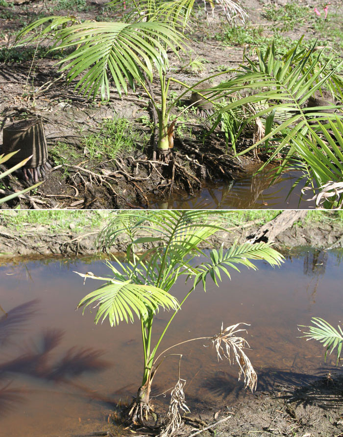 Juvenile alexandra palms cling to the embankments of the stream running through the Dawn Road Reserve. This species of palm is invasive and common along this waterway
