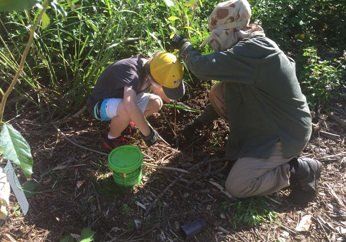 Planting a precious eucalypt tree
