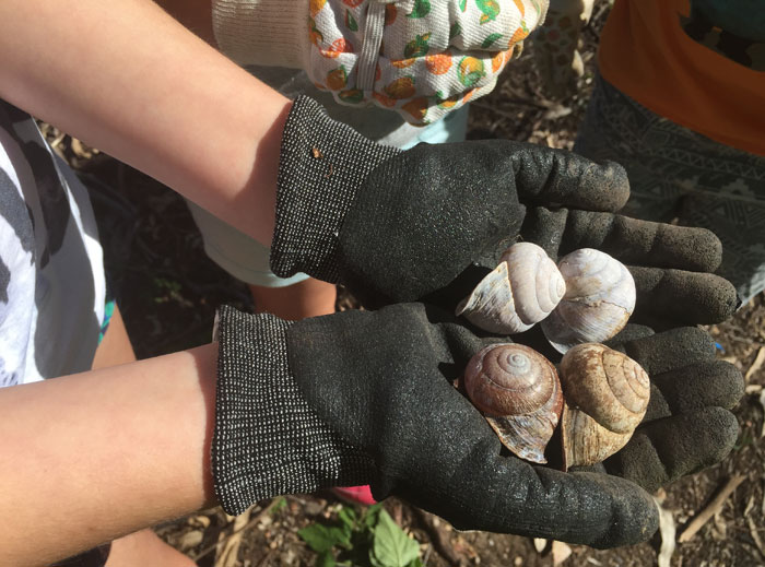 Shells of native snails found on the Dawn Road Reserve Bushcare working bee site by Albany Hills State School students