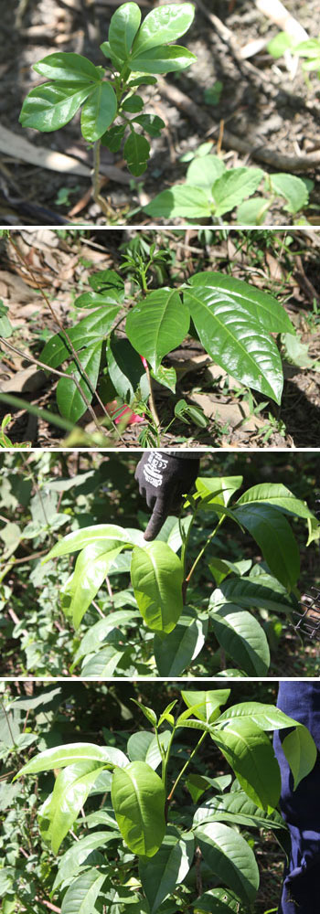 With its glossy sets of leaves, the mellicope elleryana - or the pink audio - is often mistaken for an umbrella tree. However, if you look carefully, its semicircle sets of leaves number just three, whereas umbrella trees boast up to eight leaves arranged in a full circle. This fast-growing tree will reach up to 10m. Pics: Trina McLellan