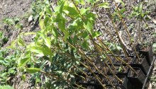 Vital tube stock plants await positioning by Dawn Road Reserve Bushcare volunteers