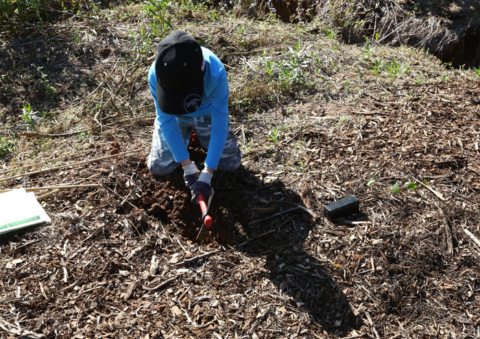 A young Dawn Road Reserve Bushcare volunteer from Albany Hills State School prepares a planting hole in the revegetation zone.