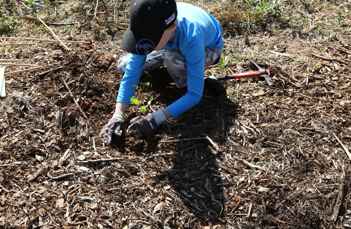 A young Dawn Road Reserve Bushcare volunteer from Albany Hills State School places his plant in the revegetation zone