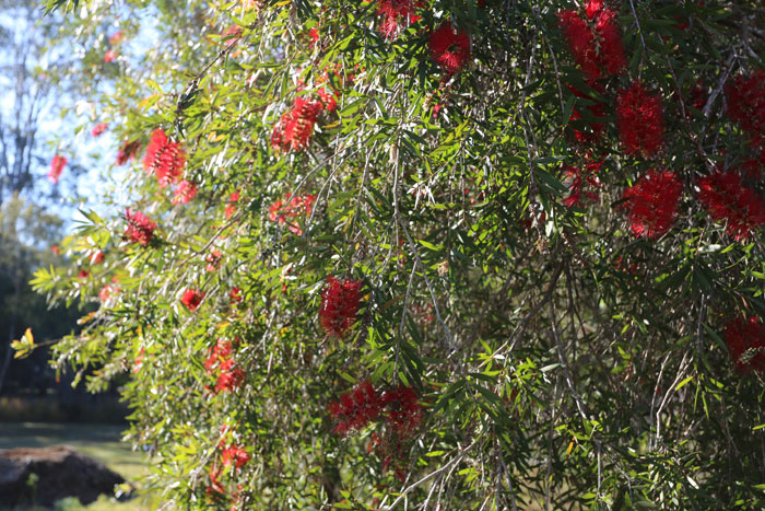 A healthy specimen of callistemon viminalis (bottlebrush) sits on the western edge of the revegetation zone