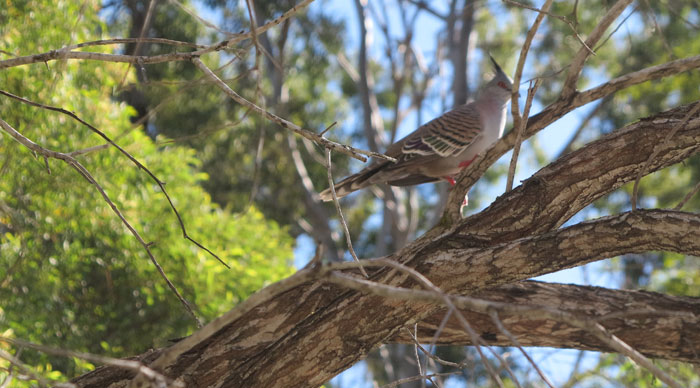 A crested pigeon (Ocyphaps lophotes) in a tree on the edge of Dawn Road Reserve