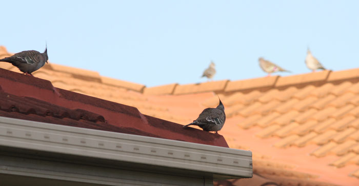 Crested pigeons (Ocyphaps lophotes) gather on a rooftop on the Dawn Road Reserve's boundary