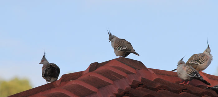 These crested pigeons (Ocyphaps lophotes) like to perch up high on our rooftops
