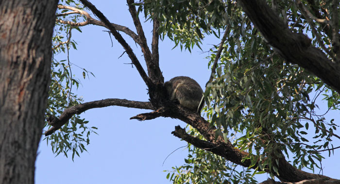 Sometimes sleeping koalas are pretty hard to spot, because they blend in with the greys in their surroundings. But this fellow was high up in a tallow wood tree just catching the morning light during our bird survey