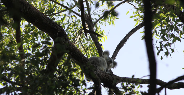 The koala stirs from its sleepy position high up in a tree in the Dawn Road Reserve