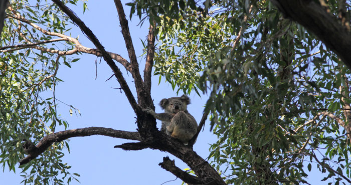 This lovely big old koala (Phascolarctos cinereus) finally awoke and posed for a photograph before settling back for a sleep in the morning sun