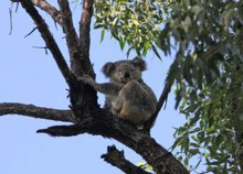 Koala in Dawn Road Reserve (May 23, 2015)