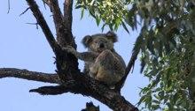Koala in Dawn Road Reserve (May 23, 2015)