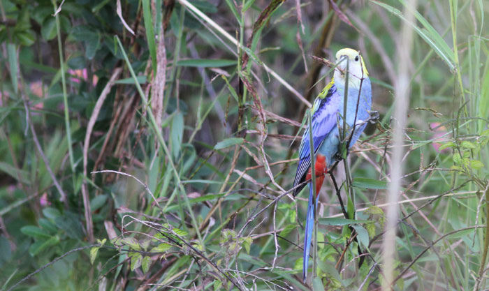 The bright-eyed pale-headed rosella (Platycercus adscitus), a member of the parrot family, surveys its surroundings