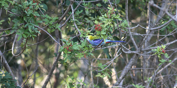 The pale-headed rosella (Platycercus adscitus) happily feasted on berries in the Dawn Road Reserve