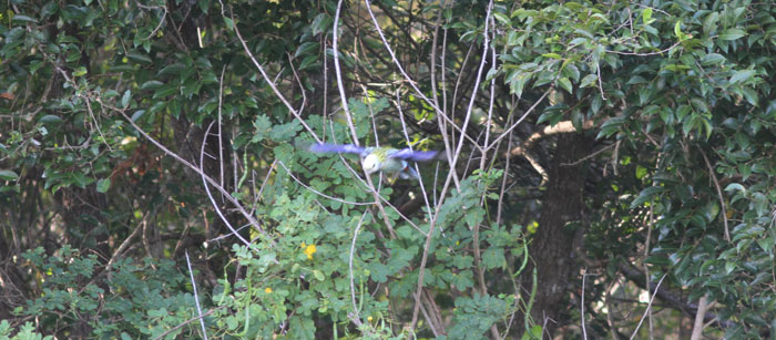 The pale-headed rosella (Platycercus adscitus) in flight