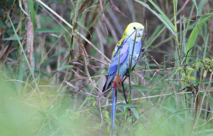 The pale-headed rosella (Platycercus adscitus) is comfortable in its surroundings in the Dawn Road Reserve