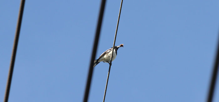 With its beak loaded up, this pied butcherbird (Cracticus nigrogularis) took a brief break on a powerline