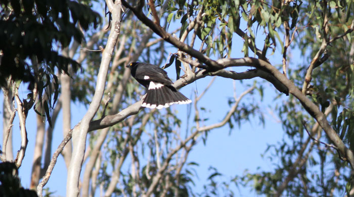 The white tips on the splayed tail of the pied currawong (Strepera graculina)