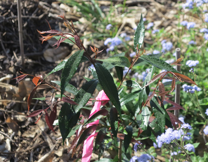 Another pink tie marking a healthy new plant in the Dawn Road Reserve Bushcare revegetation zone.