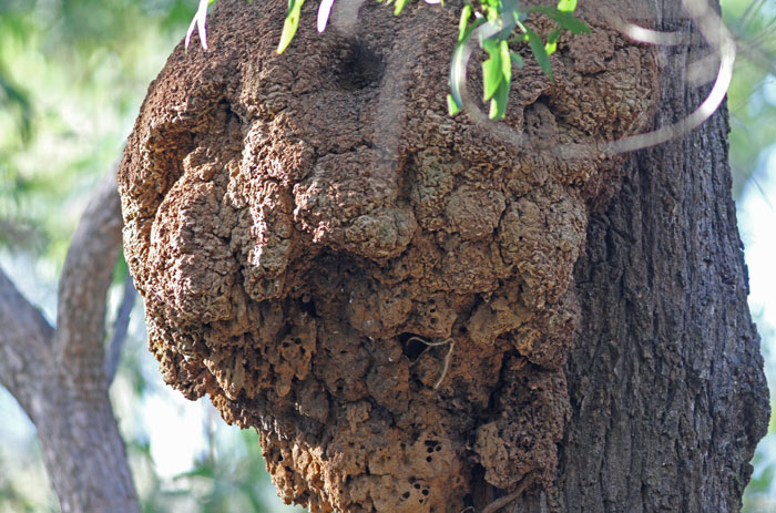 Unoccupied arboreal termite nests like this one, high up a tree, present the perfect place for kookaburras to nest