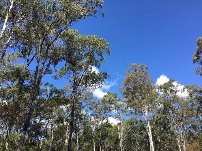 Dawn Road Reserve canopy of trees reaches up beyond the 30m mark. Pic: Trina McLellan