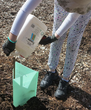 The second-last important step when planting is to ensure the young plant is well watered.