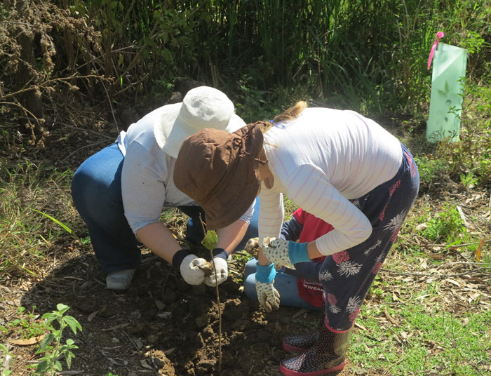 This eager Albany Hills State School student was helping Mum plant a young shrub in the revegetation zone.