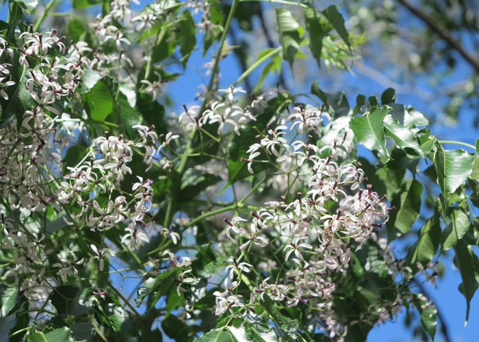 The up-close view of the delicate white cedar (Melia azedarach) blooms that come on in spring. The proliferation of blooms on this winter deciduous tree are softly perfumed and the tree is a great shade-provider in the hot months.