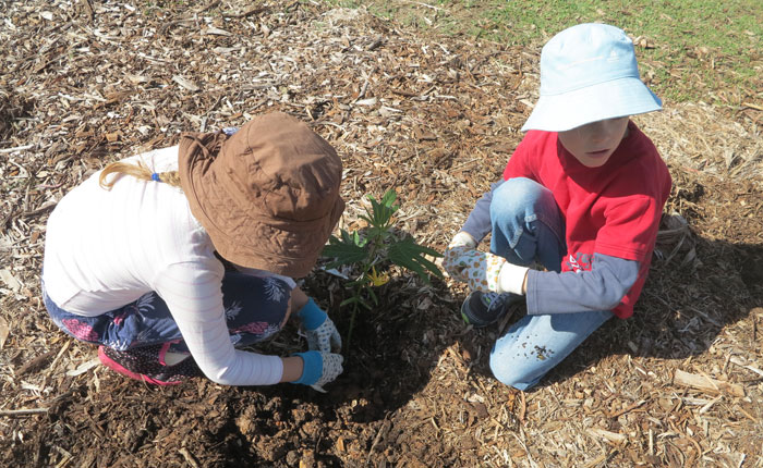 First these two Albany Hills State School students placed the young plant carefully in a pre-dug hole that had some slow-release fertiliser already in it.