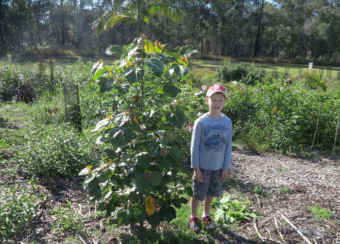 Wow, hasn't this native creek sandpaper fig (Ficus coronate) shot up! Planted back in summer, when it reached just knee-height on this Albany Hills State School student, by October it had outgrown him – despite the fact he'd grown in the meantime too!