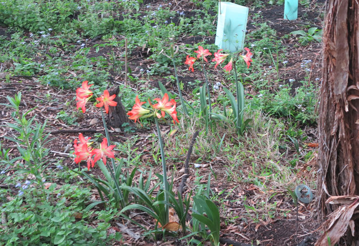 Despite its exotic name, Barbados lily (Hippeastrum puniceum) is not suited to bushland settings and can spread easily by self-sown or bird-distributed seed.