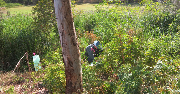 Regular Dawn Road Reserve Bushcare volunteer Gary takes care of planting a new young tree amid shrubbery on the revegetation site, carefully positioning a bright pink tag so no one thinks it might be a weed species.